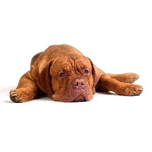 Dogue de Bordeaux couché